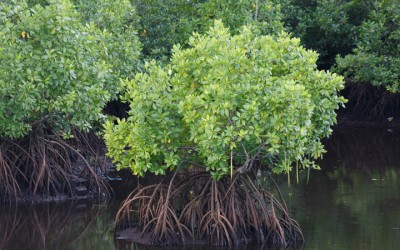 CAN GIO - VAM SAT MANGROVE (FULL DAY)